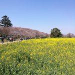 権現調節地と桜と菜の花と