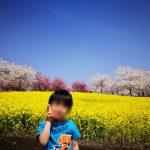 赤城南面千本桜と満開と