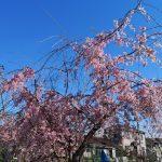 しだれ桜と年度末と