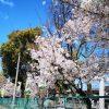 桜満開と青空と