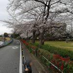 近所の桜と5部咲きと