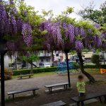 藤の花と公園と
