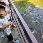鯉に餌やりとプールと