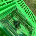 蝶々とアオスジアゲハと
